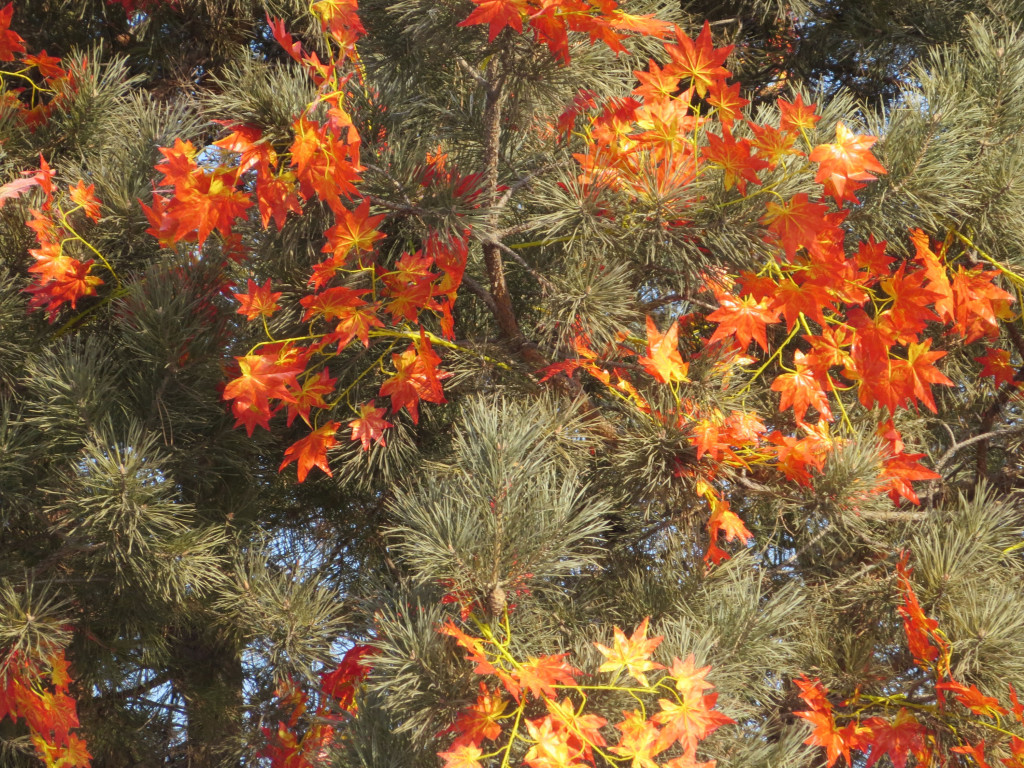 Maple leaves on a pine tree. WTF?!